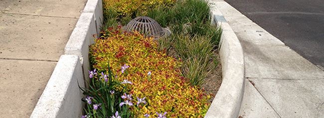 photo of rain garden filled with native plants including blooming iris